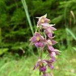Einheimische und wilde Orchideen