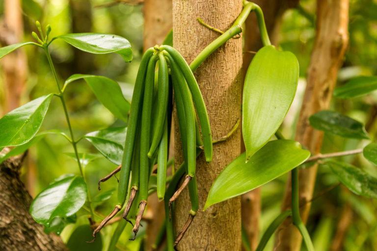 Vanille Orchidee - Vanilla planifolia